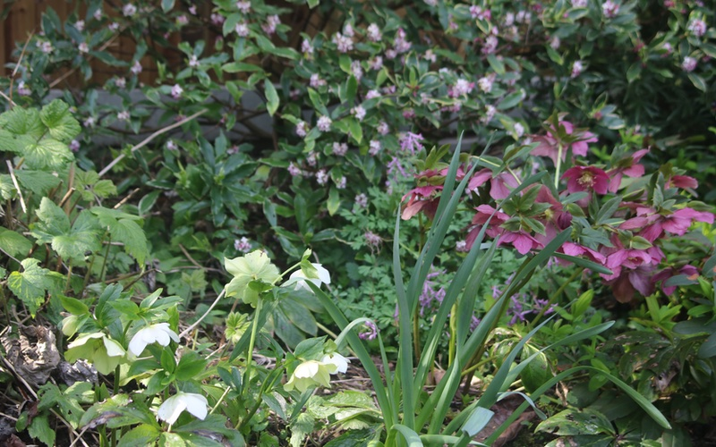Easy care shrubs and perennials, Daphneand and the Hellebores.