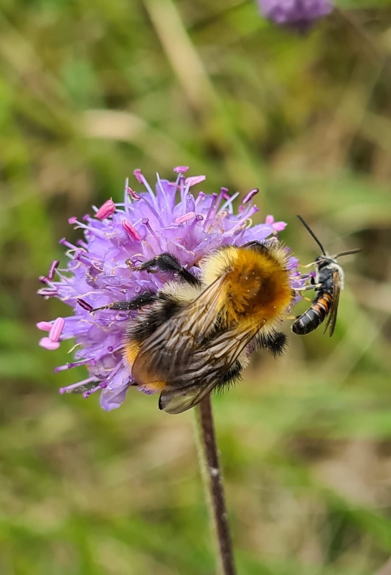 Natural Ecosystems Bumblebee and Flower